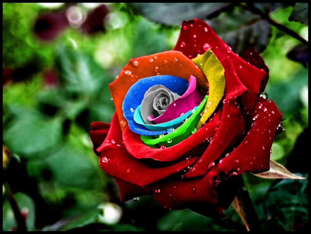 Розы цвета радуги радуга здесь